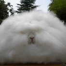 lapins-angora-anglais030