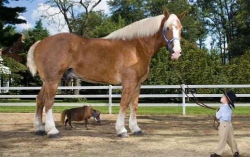 le cheval le plus grand du monde. Black Bedroom Furniture Sets. Home Design Ideas