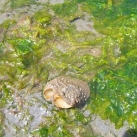 thumbs mollusque geodak 014 La Palourde Geodak (16 photos)