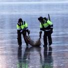 thumbs sauvetage de deux faons 008 Sauvetage de deux faons coincés sur un lac gelé (10 photos)